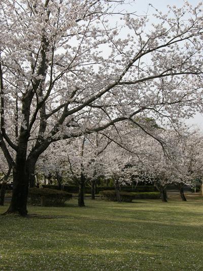 霧島市国分城山公園桜祭り