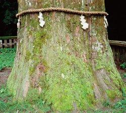 樹高35メートル、樹齢800年と推定される『ご神木の杉』