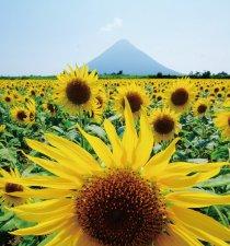 指宿 桜島が見えるヒマワリ畑